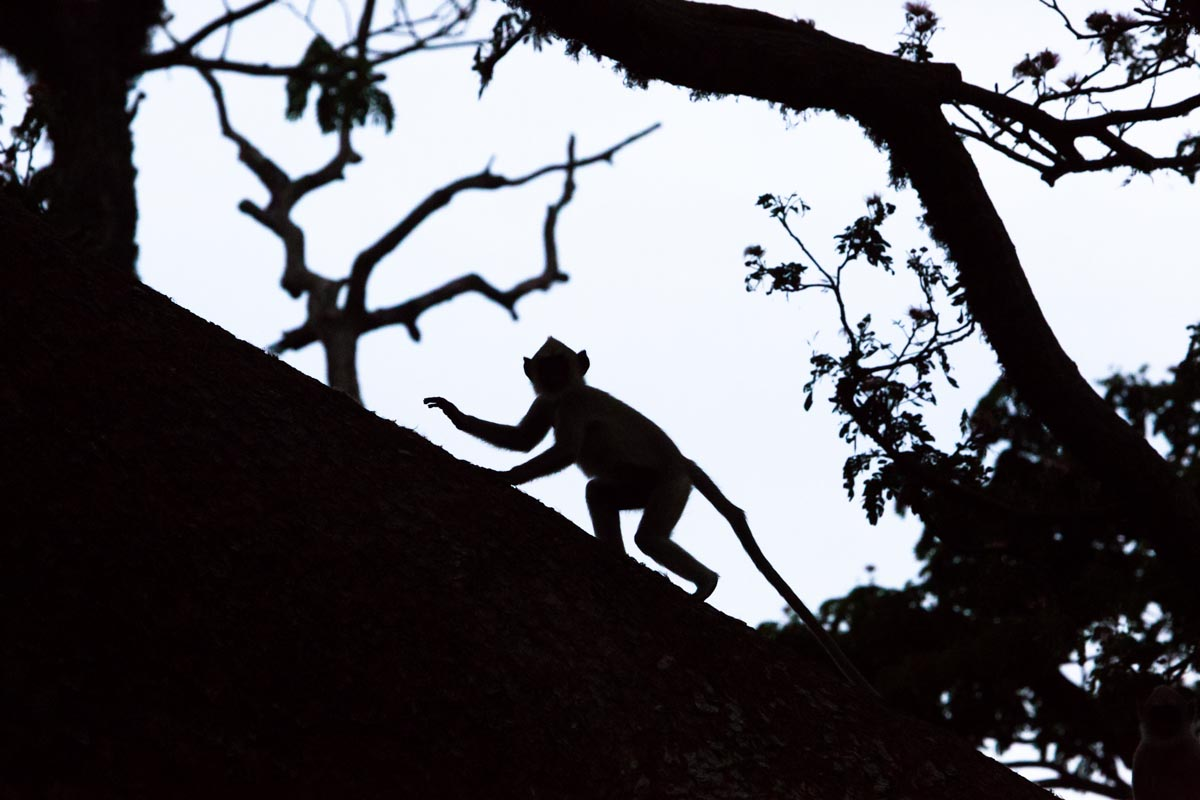 The silhouette of a gray langur monkey climbing a tree in the Yala National Park, Sri Lanka.